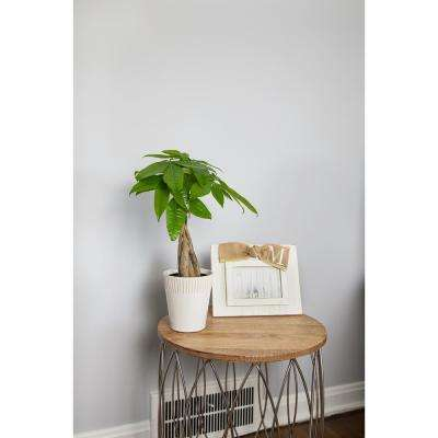 Green 5 in. Money Tree Plant in Ceramic Pot
