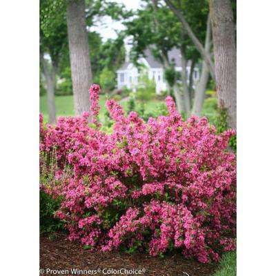Sonic Bloom Pink Reblooming Weigela (Florida) Live Shrub, Pink Flowers, 4.5 in. qt.