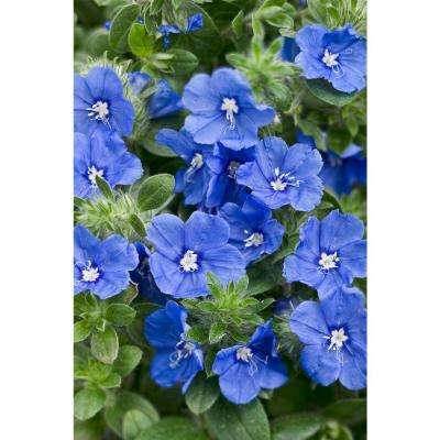 Blue My Mind Dwarf Morning Glory (Evolvulus) Live Plant, Blue Flowers, 4.25 in. Grande, 4-pack