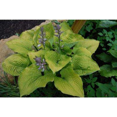 0.65 Gal. Shadowland Coast to Coast (Hosta) Live Plant, Gold Foliage