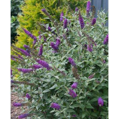 1 Gal. Miss Violet Buddleia ColorChoice Butterfly Bush Shrub