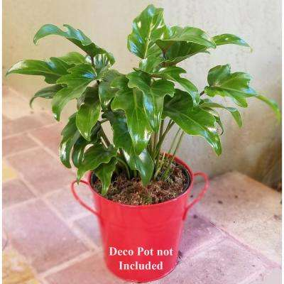 Philodendron Xanadu Plant in 6 in. Grower Pot