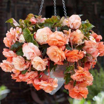 5 cm to 6 cm Non-Stop Apricot Begonia (3-Pack)