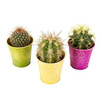 2.5 in. Assorted Cactus in a Colored Daisy Tin (3-Pack)