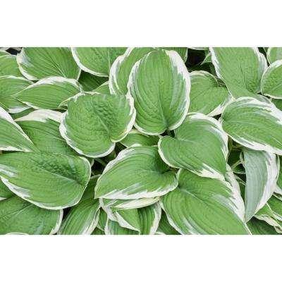 Hosta White Edge Leaf Plant in 1 Gal. Grower's Pot (4-Packs)