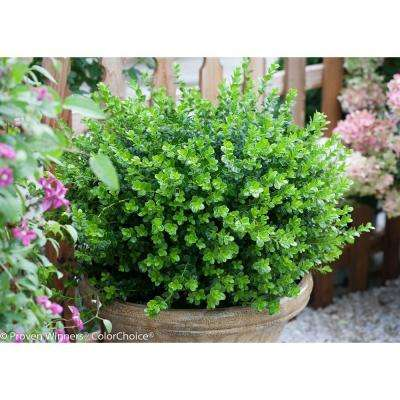 Sprinter ColorChoice Boxwood Buxus Sempervirens 4.5 in. Quart