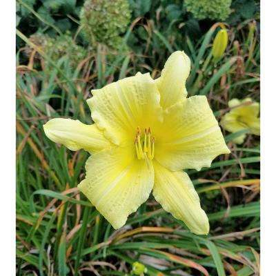 1 Gal. Rainbow Rhythm Going Bananas Daylily (Hemerocallis) Live Plant, Yellow Flowers