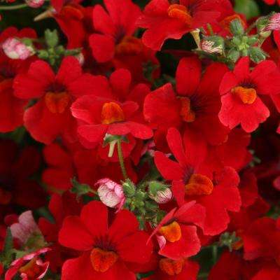 Sunsatia Cranberry (Nemesia) Live Plant, Red Flowers, 4.25 in. Grande