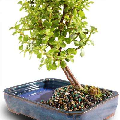 Dwarf Jade Bonsai in Water Pot