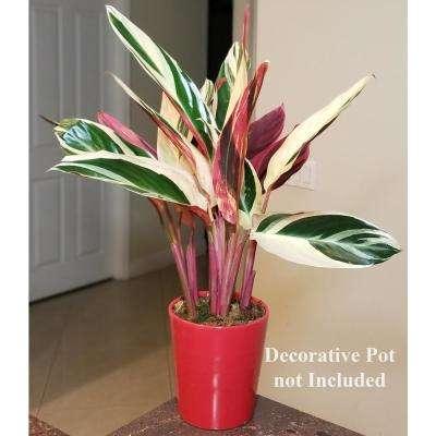 Triostar Stromanthe Plant in 6 in. Grower Pot
