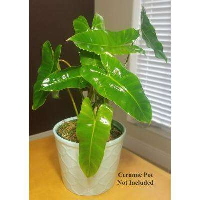 Philodendron Burle Marx Plant in 6 in. Grower Pot