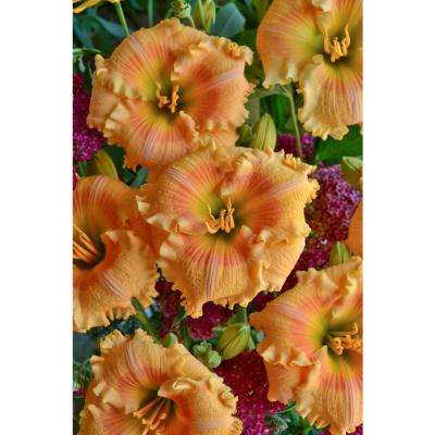 1 Gal. Rainbow Rhythm Orange Smoothie Daylily (Hemerocallis) Live Plant, Light Orange Flowers