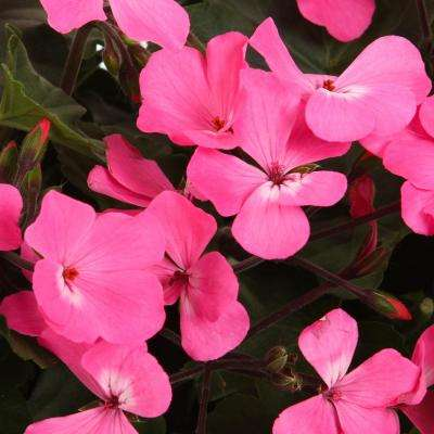 Timeless Pink Geranium (Pelargonium) Live Plant, Pink Flowers, 4.25 in. Grande, 4-pack