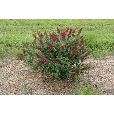 Miss Molly Butterfly Bush (Buddleia) Live Shrub, Deep Pink Flowers, 4.5 in. Qt.