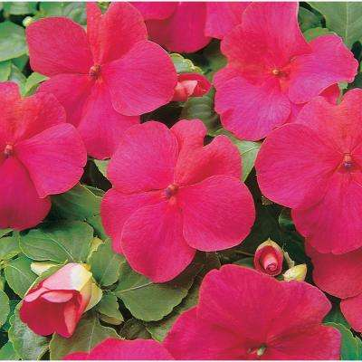 4 in. Pink Impatien Plant (Pack of 6)