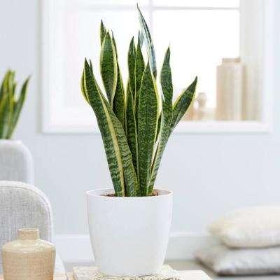 Sansevieria Superba Snake Plant in 6 In. Designer Pot