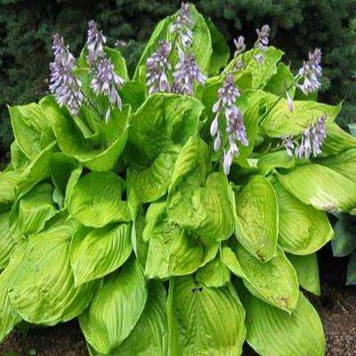 1.5 Gal. Sum and Substance Hosta Plant