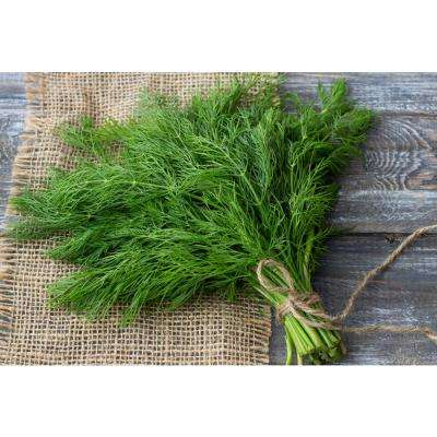 Herb Plant Dill in 6 In. Deco Pot