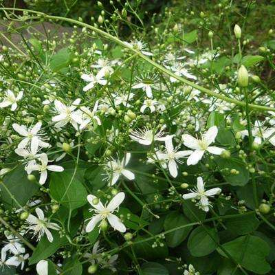 2 gal. Sweet Autumn Clematis Plant