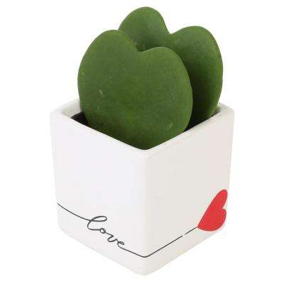 Live Hoya Heart, Hoya Kerrii, in Heart White Ceramic
