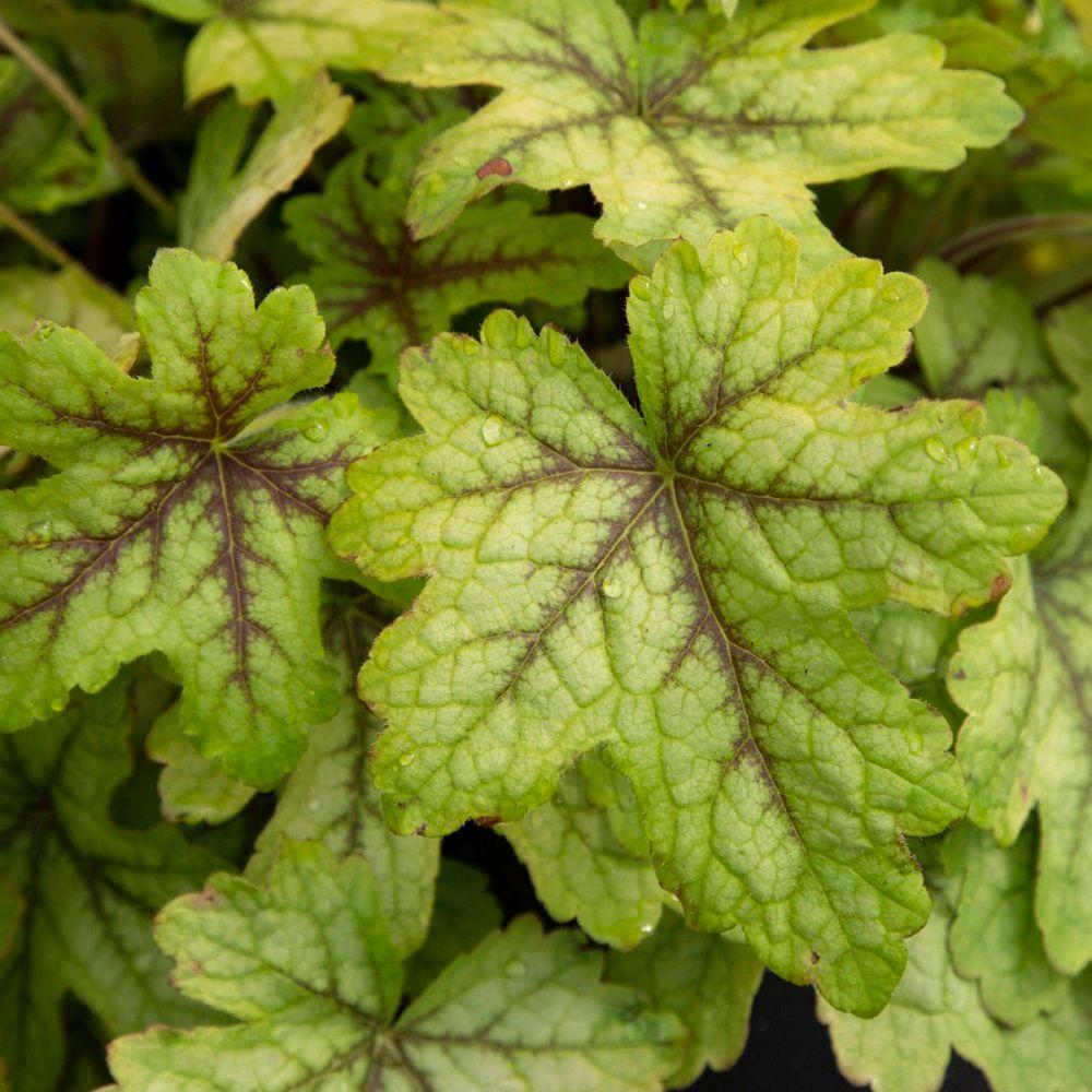2.5 Qt. Alabama Sunrise Heucherella, Live Perennial Plant, Multi-color Foliage