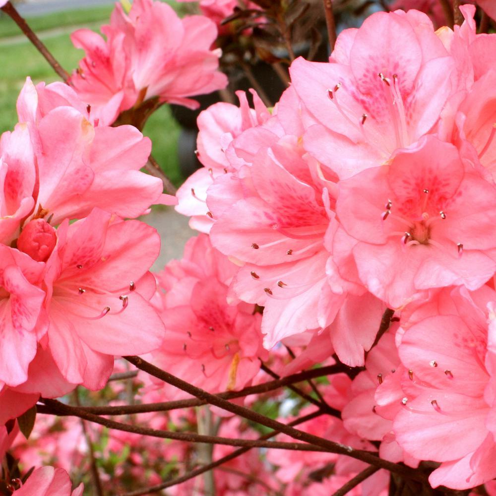 2.5 qt. Azalea Wakaebisu Flowering Shrub with Salmon Blooms