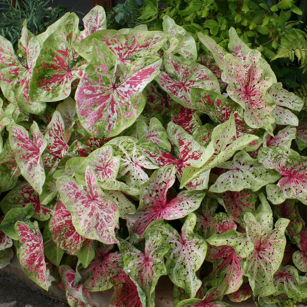Van Zyverden Caladiums Dwarf Miss Muffet Bulbs 6 Set 83440 The