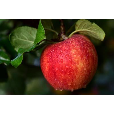 Cold Hardy Autumn-Ripening Incredibly Sweet Apples Prairie Spy Apple Tree (Bare-Root, 3 ft. to 4 ft. Tall 2-Years Old)