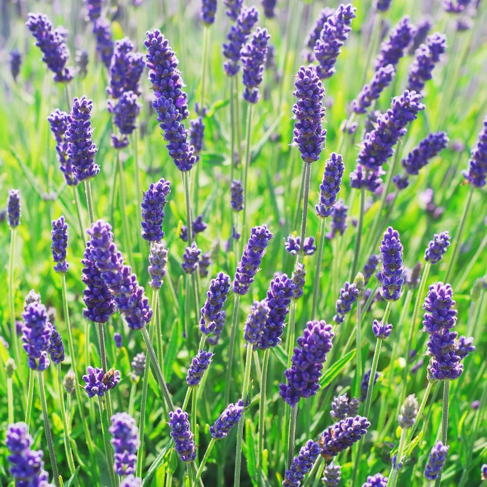3.25 in. Lavance Blue-Violet Bloom Lavender Plant (4-Piece)