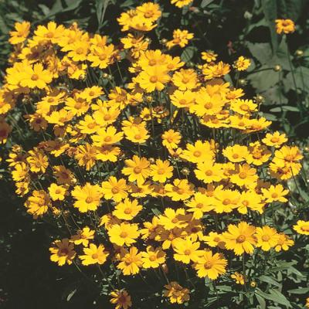 1 Gal. Yellow Tickseed Plant