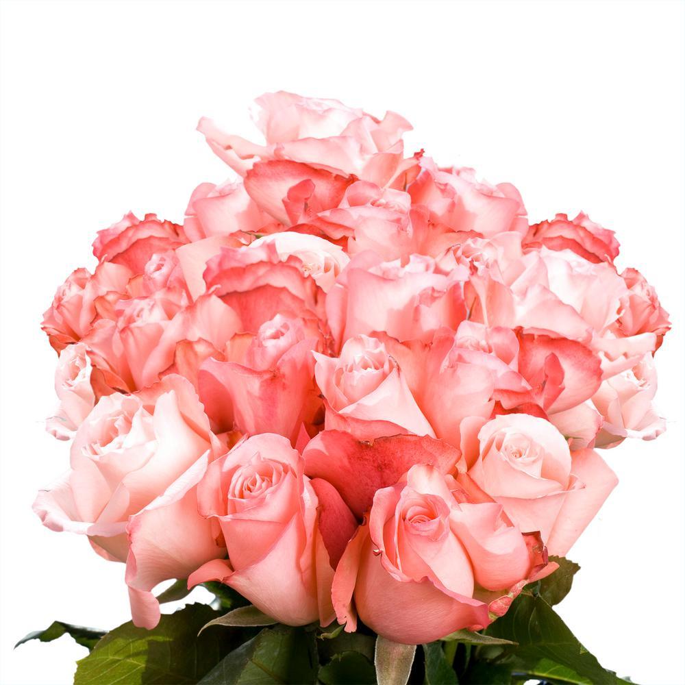 Fresh Light Pink Color Roses (250 Stems)