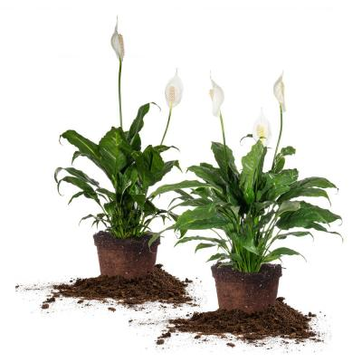Peace Lily Plants Air Purifying and Filtering Grow Your Own Indoor House Plants Decorative Pot in Grey /& Black by Thompson and Morgan 1 x Spathiphyllum Torelli Plant in a 12cm Pot