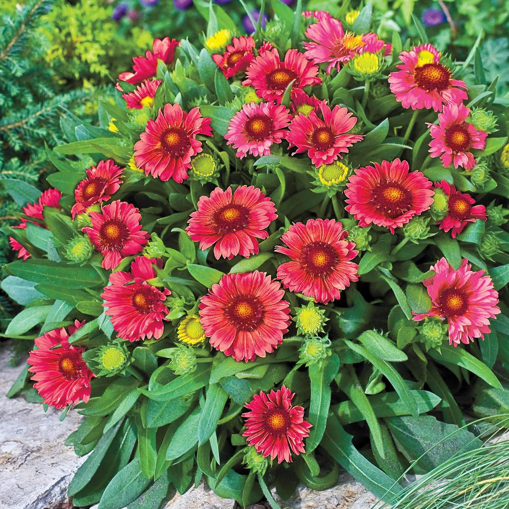 Spring Hill Nurseries 2 In Pot Arizona Red Shades Gaillardia Live