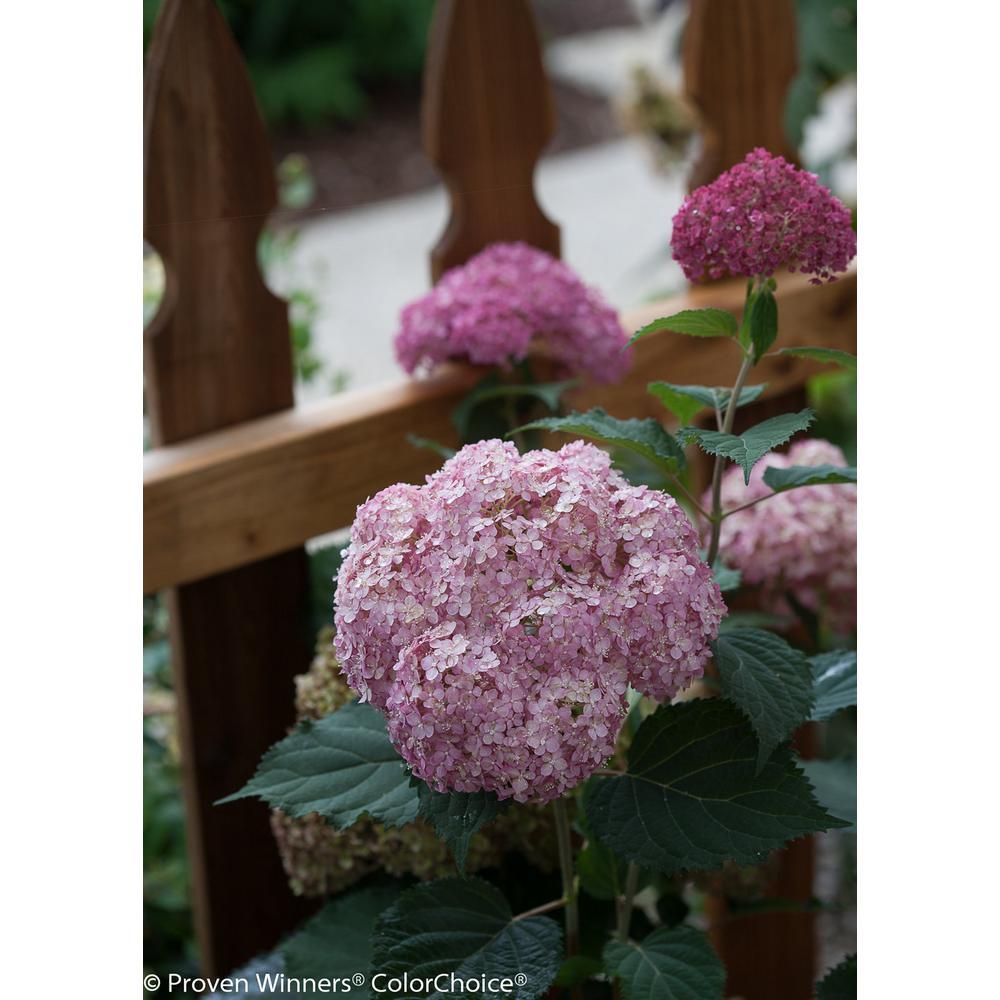 4.5 in. qt. Invincibelle Spirit II Smooth Hydrangea Live Shrub in Pink Flowers