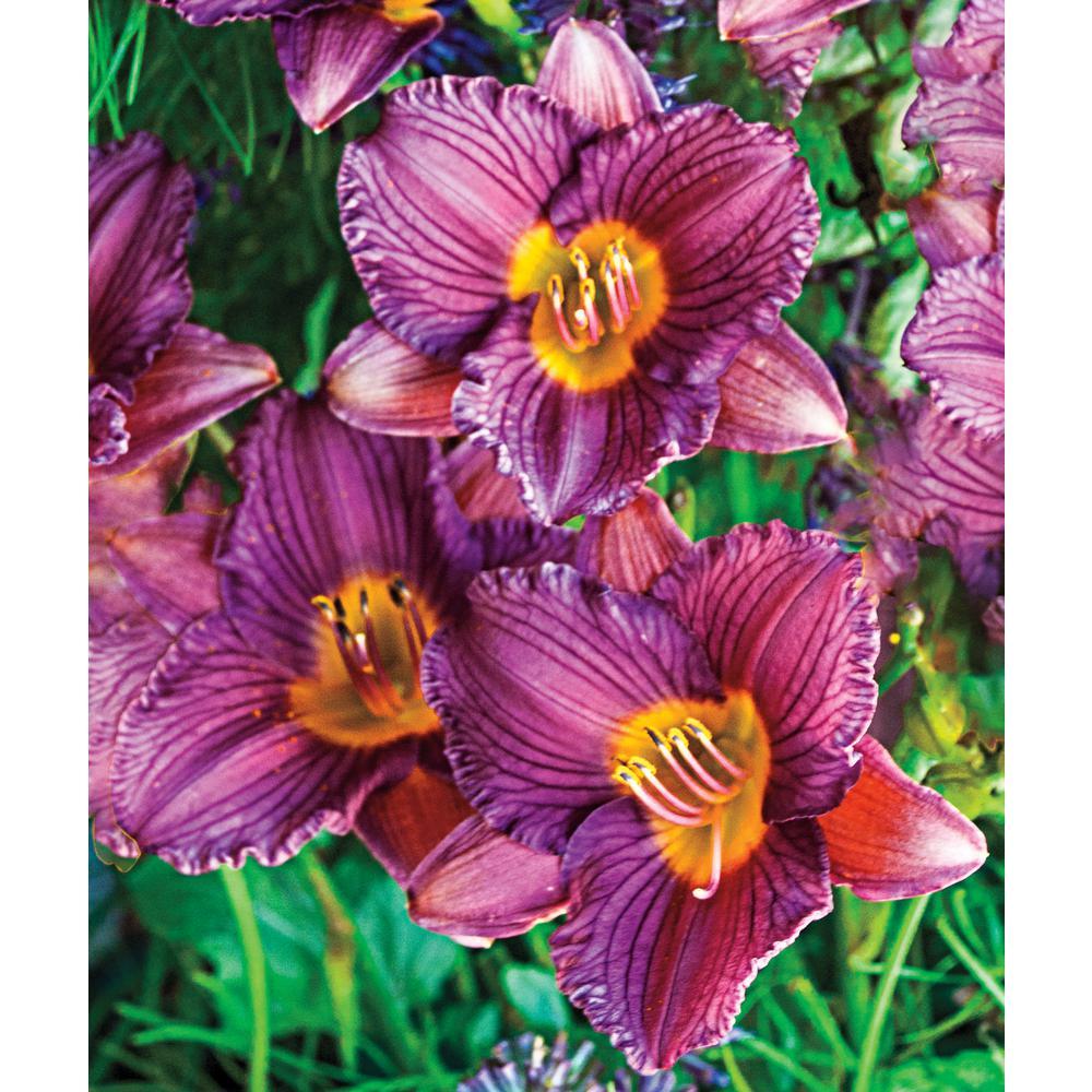 Purple De Oro Daylily (Hemerocallis), Live Bareroot Plant, Purple Flowering Perennial (1-Pack)