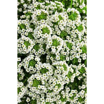 White annuals garden plants flowers the home depot white knight sweet alyssum lobularia live plant white flowers 425 in mightylinksfo
