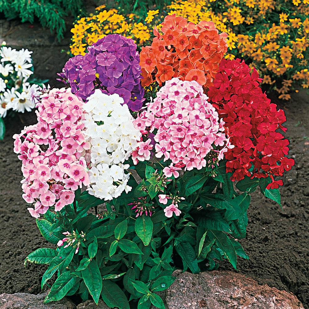 Spring Hill Nurseries Tall Phlox Mixture Live Bareroot Perennial Plants Multi-Colored Flowers (8