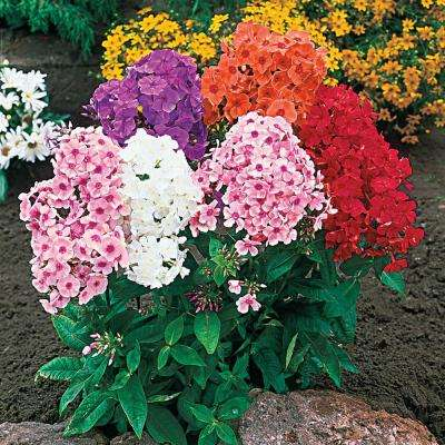 Tall Phlox Mixture Live Bareroot Perennial Plants Multi-Colored Flowers (8-Pack)