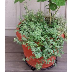 4.5 in. Greek Oregano