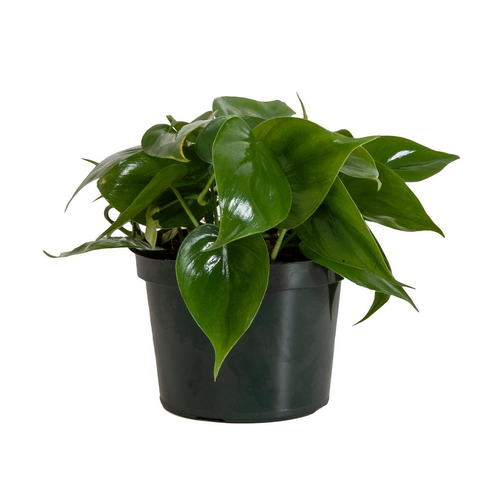 United Nursery Philodendron Cordatum in 6 in. Grower Pot