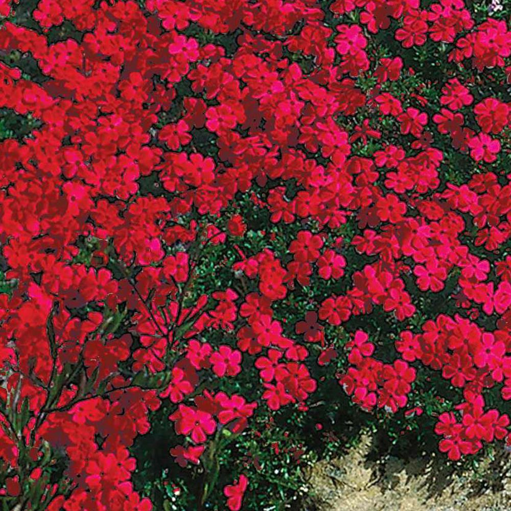 Spring Hill Nurseries Red Creeping Phlox Live Bareroot Plant Red