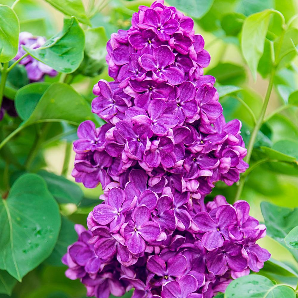 Pot Yankee Doodle Lilac Syringa Live Potted Plant with Purple Flowering Shrub (1-Pack)