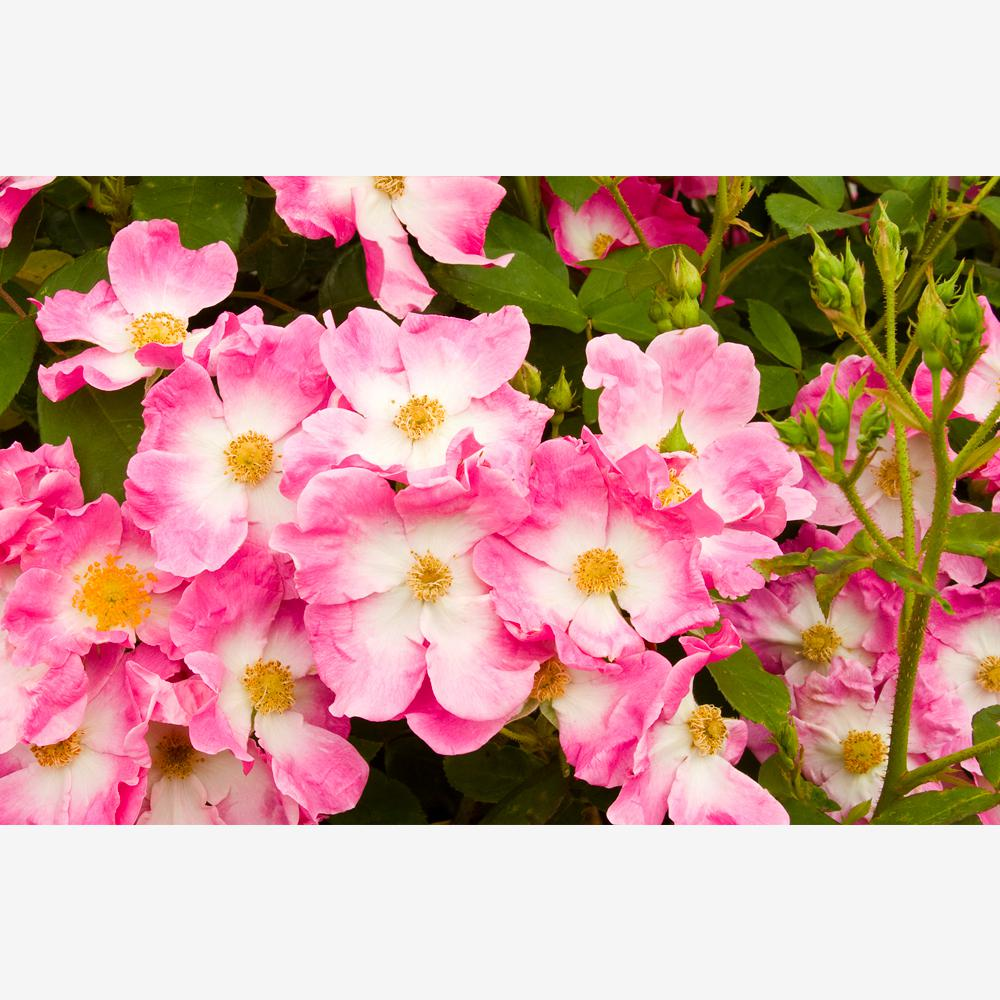 Mea Nursery All-Time Favorites Nearly Wild Floribunda Rose with Pink Flowers was $25.98 now $10.49 (60.0% off)