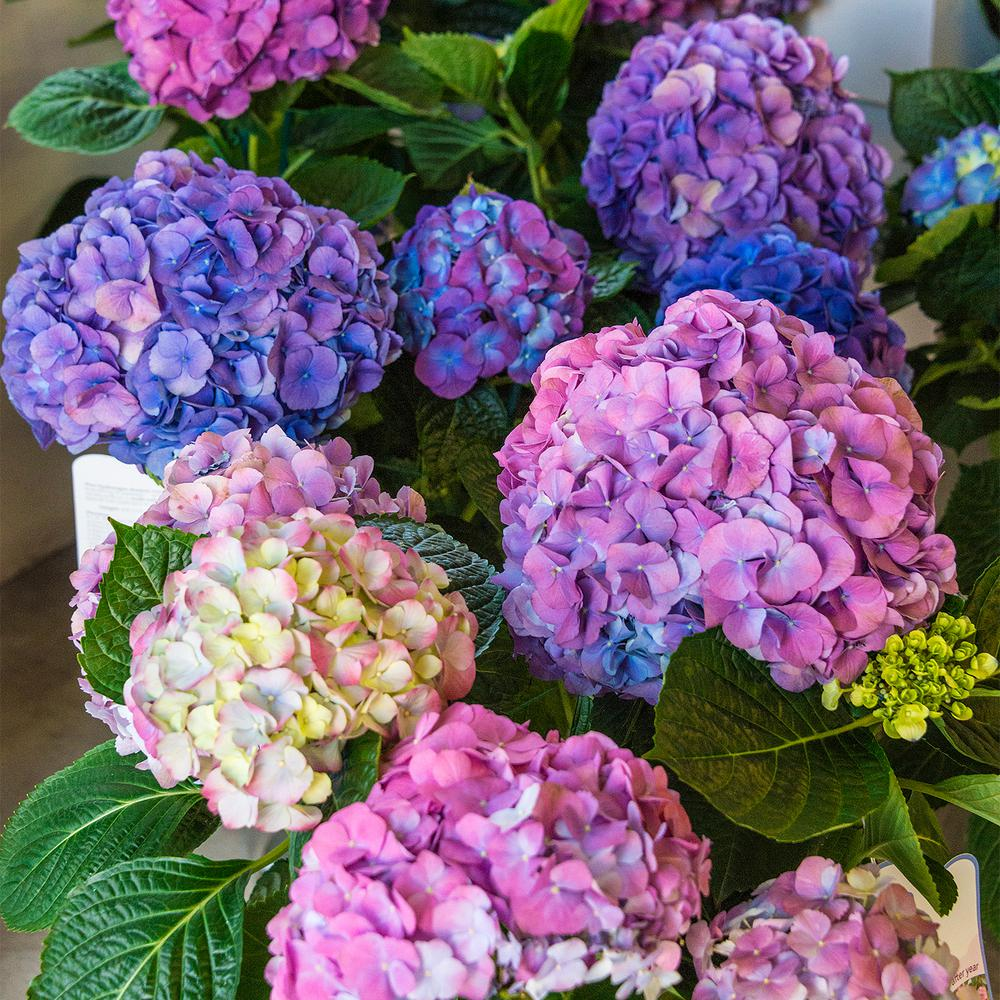 Spring Hill Nurseries 4 In Pot L A Dreaming Hydrangea Blue Or Pink Flowers Live Deciduous Plant 1 Pack