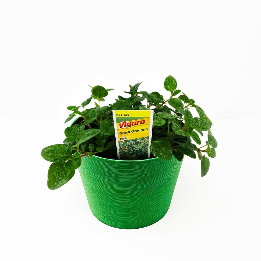 Herb Plant Greek Oregano in 6 In. Deco Pot