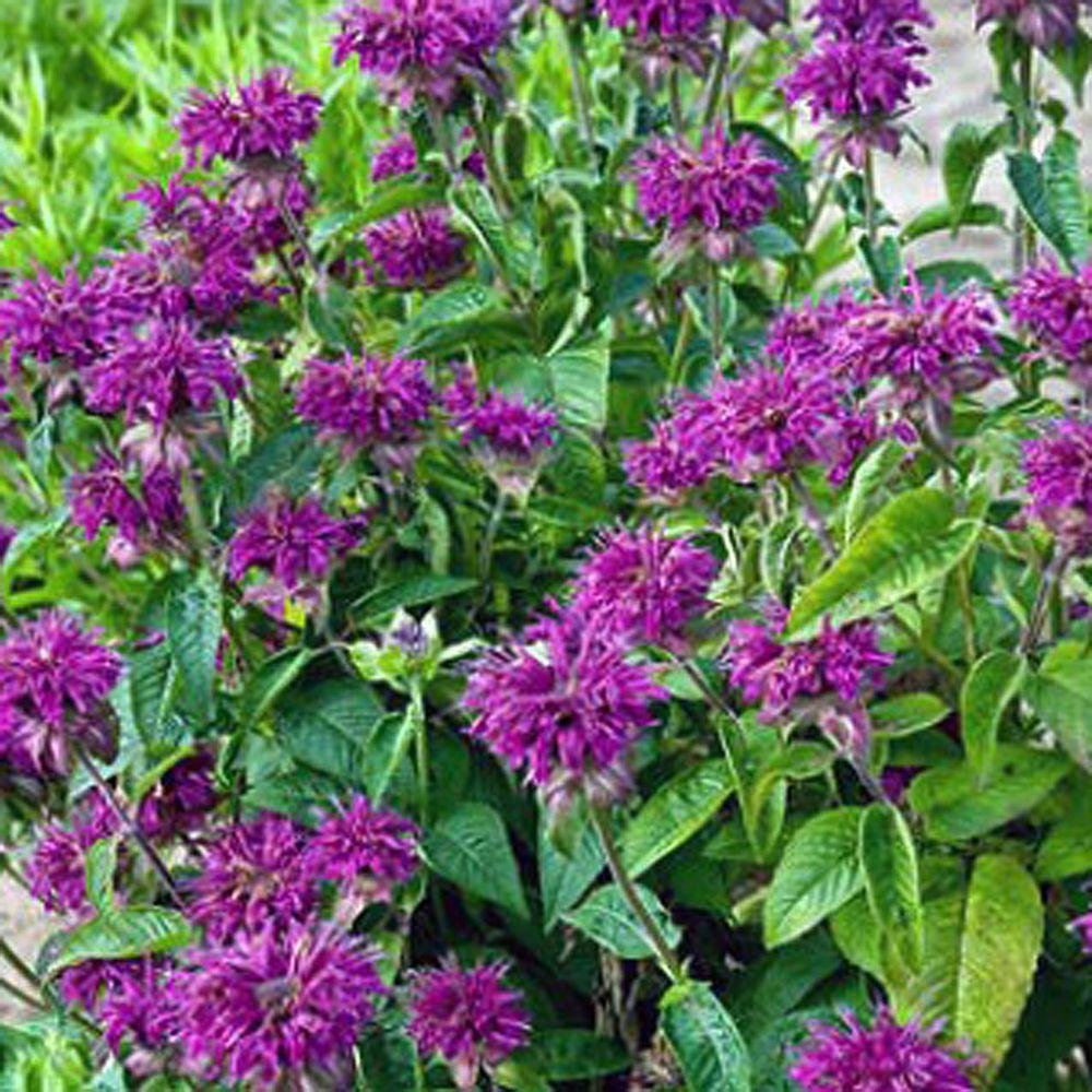 Perennials at the home depot 1 gal purple rooster bee balm plant mightylinksfo