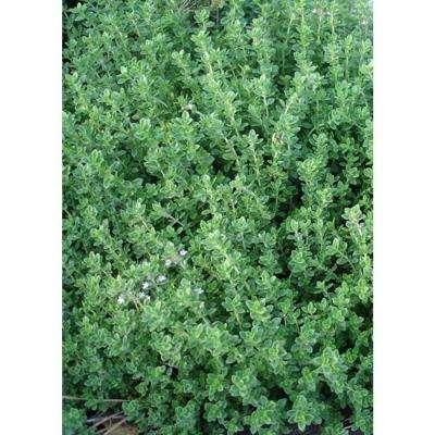 Aromatic Thyme, Live Plant, Herb, 4.25 in. Grande