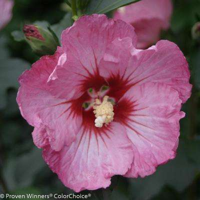 4.5 in. qt. Ruffled Satin Rose of Sharon (Hibiscus) Live Shrub, Pink Flowers