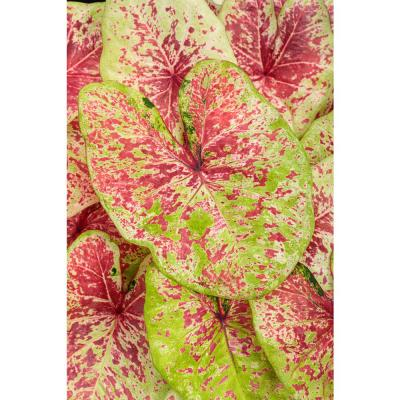4.5 in. Quart Heart to Heart Raspberry Moon (Caladium) Live Plant in Pink and Green Foliage