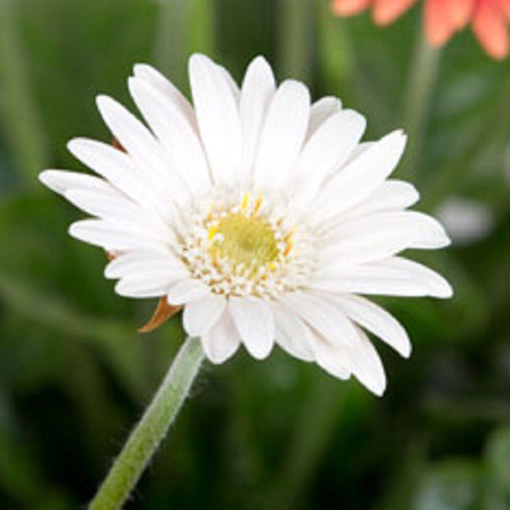 null 2 Gal. White Drakensberg Daisy With Yellow Centered Blooms, Live Perennial Plant